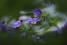 Meadow cranesbill captured through the leaves Royalty Free Stock Photos