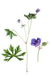 Meadow Cranesbill Stock Photography
