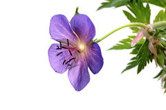 The meadow cranesbill (Geranium pratense) Stock Images