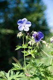 Meadow cranesbill Stock Images