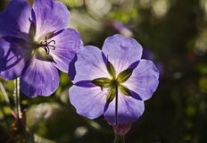 Meadow, Cranesbill, Spring, Nature Royalty Free Stock Images