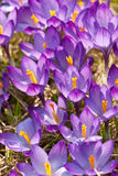 Meadow of crocus Royalty Free Stock Photos