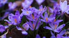 Meadow of crocus flowers in the spring forest stock footage