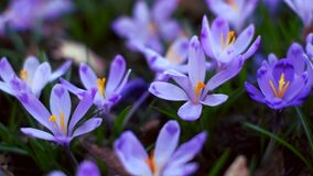 Meadow of crocus flowers in the spring forest stock video footage