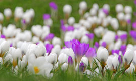 Meadow of crocuses Stock Photos