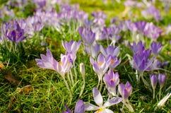 Meadow of crocuses. Stock Photography