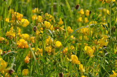 Meadow with crowfoot summer flowers Stock Photography