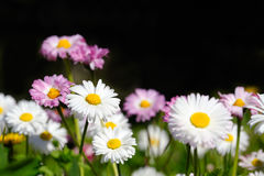 Meadow of daisies Stock Photography