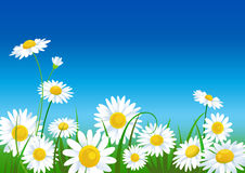 Meadow with daisies Royalty Free Stock Photo
