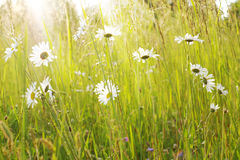 Meadow with daisies Royalty Free Stock Images