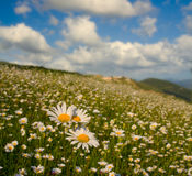 Meadow with daisies Stock Photography