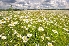 The meadow of daisies. Stock Images