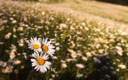 Meadow with daisies Stock Photo