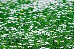 Meadow of daisies. Green meadow with lots of white daisies stock photography
