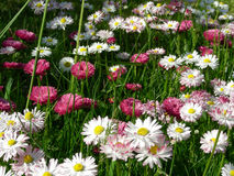 Meadow of daisies. Beautyful meadow of daisies stock photos