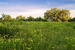 Meadow of daisies Royalty Free Stock Photography