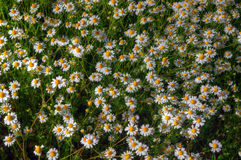 Meadow with daisies. Beautiful sunny photography with many flowers Stock Image