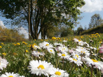 Meadow with daisies and dandelions Royalty Free Stock Photo