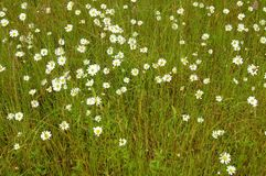 Meadow daisies in a field of grass. Stock Photo