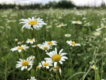 Meadow daisies in a field on a summer day in the green grass stock photo