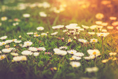 Meadow daisies flowers close-up in sunlight. Meadow daisies flowers close-up in summertime Royalty Free Stock Photo