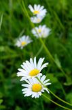 Meadow Daisies Stock Images
