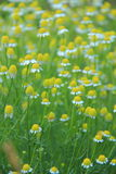 Meadow daisies Royalty Free Stock Photography