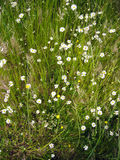 Meadow of daisies in spring time Stock Image