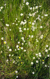 Meadow of daisies in spring time Stock Photography