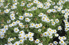 Meadow of daisies in spring time. As texture royalty free stock photo