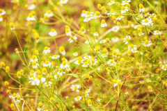 Meadow daisies in sun lights. Stock Images