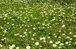 Meadow of daisies. Stock Images
