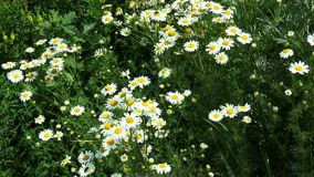 Meadow of daisies stock video
