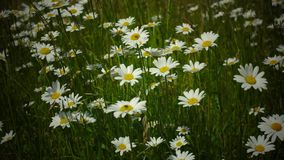 Meadow daisies on windy day while birds are singing in the near of Munich Bavaria Germany stock video