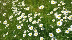 Meadow daisies on windy day while birds are singing in the near of munich bavaria germany stock footage
