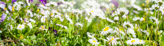 Meadow daisy, banner Stock Photos