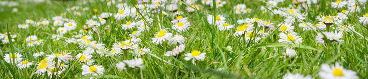 Meadow daisy, banner Royalty Free Stock Images
