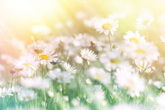 Meadow of daisy bathed in sunlight Stock Photos