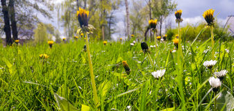 Meadow with daisy and dandelion flowers Royalty Free Stock Photo