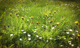 Meadow with daisy and dandelion flowers Royalty Free Stock Photos