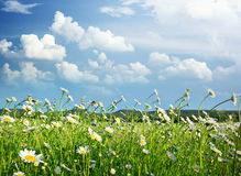 Meadow of daisy Stock Image