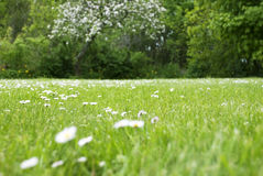 Meadow With Daisy Flowers, Copy Space Stock Image