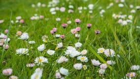 Meadow daisy Royalty Free Stock Photo