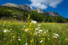 Meadow with daisys at the foor of high mountain. Beautiful meadow with daisys at the foor of high mountain royalty free stock image