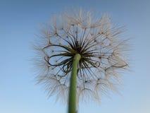Meadow dandelion Stock Photos