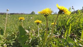 Meadow with dandelion flowers. In spring stock video