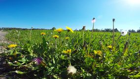 Meadow with dandelion flowers. In spring stock video footage