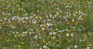 Meadow with Dandelion Flowers, taraxacum officinale, Normandy in France, Slow Motion. 4K stock video footage