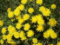 Meadow with dandelion flowers Stock Images