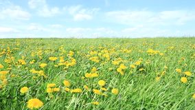 Meadow and dandelion. A meadow with dandelion in the spring stock video